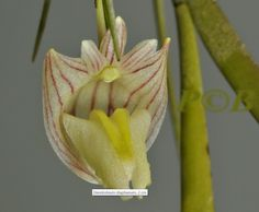 Orchid: Dendrobium diaphanum - In Front-view. Found in Sulawesi on forest trees at elevations of 500 to 600 meters as a medium-sized, warm-growing epiphyte.