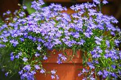 How to Take Proper Care of Lobelia Flowers Lobelia Flowers, Planting Flowers, Container Plants, Container Gardening, Shade Garden, Garden Plants, Compost Tea, Pot Plante, Special Flowers