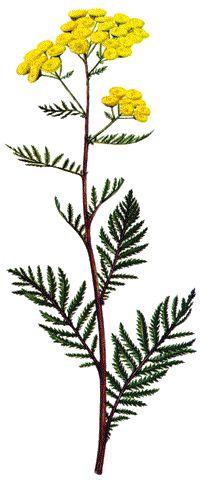 Tanaceto (Planta) / Plantas Medicinales y Fitoterapia