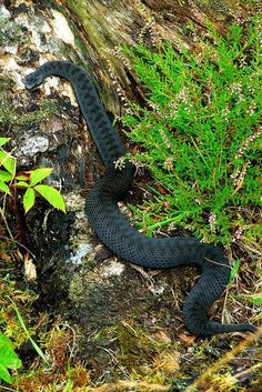 Black European Adder;