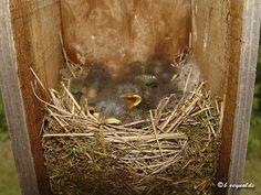 Eastern Bluebird (Sialia sialis) - Photo by Bill Reynolds - a clutch of Eastern Blue Birds - http://minnesotaseasons.com/Birds/Eastern_Bluebird.html