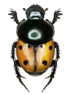 Helictopleurus quadripunctata