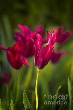 Red Tulips - Belinda Greb #floralphotography #flowers #naturephotography #BelindaGreb