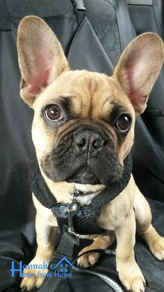 Murphy, the French Bulldog