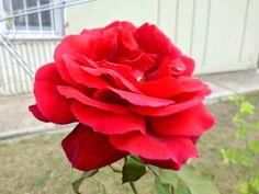 VERY BEAUTIFUL ROSE