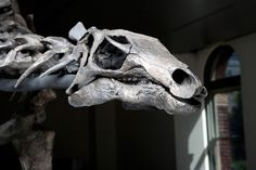 A skull of a Stegosaurus.