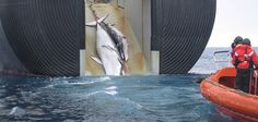 Minke whale and her 1-year-old calf are dragged aboard the Nisshin Maru, a Japanese whaling vessel