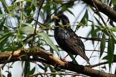Jurek.P posted a photo:  Pozuje mi szpak bardzo u nas popularny ptak :-)) /  Starling poses for me, very popular bird here :-))