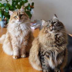 Image may contain: cat via Pretty Cats, Beautiful Cats, Cute Cats, Morning Cuddles, Norwegian Forest Cat, Cat Sitting, Animal Photography, Nature Photography, Cat Gif