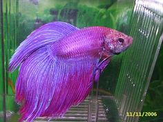 betta lavander - Bing images