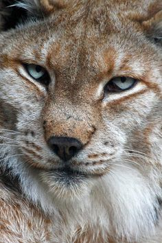 Boreal lynx   by Andrés López