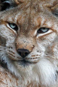 Boreal lynx | by Andrés López