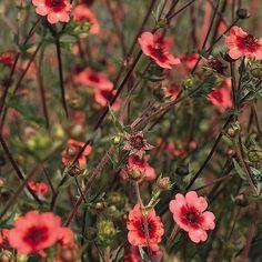 Indisk Fingerört 'Miss Wilmott' Succulents Garden, Garden Plants, Planting Flowers, Sun Perennials, Plant Design, Outdoor Plants, Garden Projects, Garden Inspiration, Beautiful Creatures