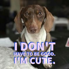 #dachshunds