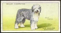 1897 Old English Sheepdog Photo: CH 'Victor Cavendish'. From the book, 'The Old English Sheepdog' This Photo was uploaded by Pietoro Lancashire Heeler, Dog Artwork, Bearded Collie, Old English Sheepdog, Shetland Sheepdog, New York Public Library, Old Postcards, Book Of Shadows, Beautiful Dogs