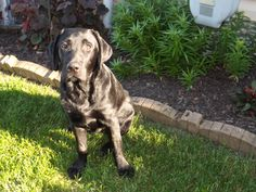 black lab puppy Feivel, 5 months old, in training for Canine Companions for Independence