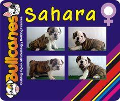 SAHARA - Female miniature bulldog puppies for sale BULLCANES