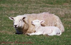 Sheep and sleepy lamb PROTECTED-use for inspiration