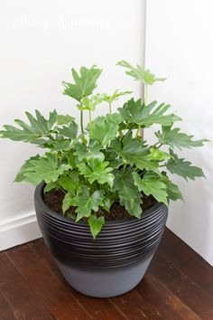 15 easy to care for houseplants! lacy-philodendron