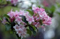 Henning's rhododendron and azalea pages feature descriptions, cultural, and trouble shooting pages as well as companion plants. Companion Planting, Gardening Tips, Plants, Plant, Planets