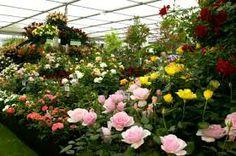 osCurve Jardines: Cultivo de la Rosa Ventilación y enriquecimiento e...http://oscurve-jardines.blogpot.com