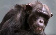 Chimbuka (1995-2011) Taronga Zoo