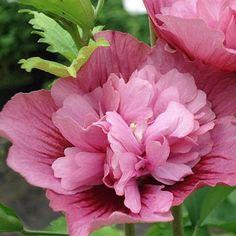 Arbuste robuste. Fleurs très doubles rose foncé de juillet à octobre.