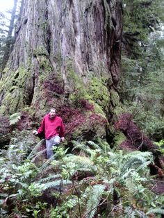 Coast redwood 'Arco Giant' in Redwood National Park, Orick, United States