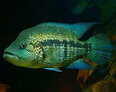 Wolf Cichlid,Parachromis doviiSpecies Profile, Wolf Cichlid Care Instructions, Wolf Cichlid Feeding and more.::Aquarium Domain.com