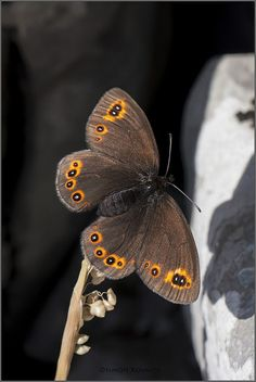 Halloween Butterfly! I just call it that; I don't know what it is.