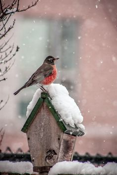 Winter - The robin seemed to be enjoying the first snowfall of the winter.