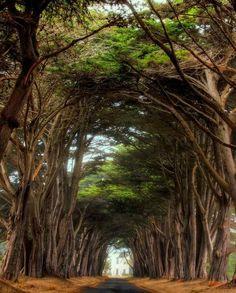 Cypress Trees, Pt. Reyes, California