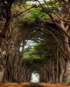 Cypress Trees, Pt. Reyes, California  photo from larryjw