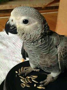 Trendy Ideas For Pet Bird African Grey Cute Birds, Pretty Birds, Beautiful Birds, Tropical Birds, Exotic Birds, Cute Baby Animals, Animals And Pets, Funny Bird, Senegal Parrot