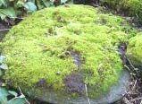 Briófitas-( MUSGOS) Os musgos possuem uma forma central que lembra um caule, do qual se desprendem pequenas folhas e que se prolonga em algumas estruturas denominadas rizomas. No entanto, apesar de possuírem estas estruturas, as briófitas absorvem a água diretamente da base sobre a qual crescem, ou, do próprio ar.
