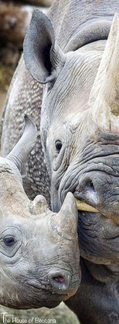 ~Rhinos   The House of Beccaria