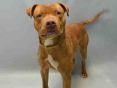 A1068186. Oatmeal ..OATMEAL – A1068186  MALE, BROWN, AM PIT BULL TER MIX, 1 yr STRAY – STRAY WAIT, NO HOLD Reason STRAY