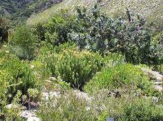 fynbos gardens - Google Search