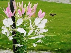 Flower, Flowers, Insect, Insects, Mucha