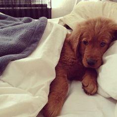 Golden retriever puppy, all tucked in.
