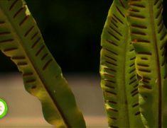 Vraci, rețete și secrete: Limba cerbului