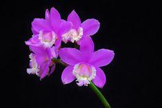 ponerorchis graminifolia - Google keresés
