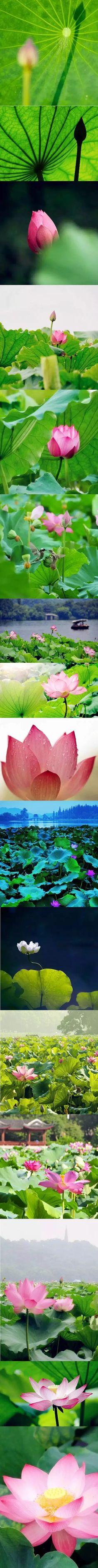 The manifold beautiful portraits of the lotus flower in Hangzhou in the summer. #travelogue #travel #Hangzhou #beautiful #scenary #photography  #gorgeous #romantic #urbanlife #urbanite #city #citylife #WestLake #lotus #flowers