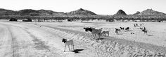 African Adventures in Namibia: A herd of goats stopping traffic.