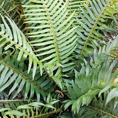 Sword fern (<i>Polystichum munitum</i>) - Best Plants for Rain Gardens - Sunset
