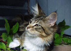 Maine Coon Personality Traits http://www.mainecoonguide.com/maine-coon-personality-traits/ #mainecoon