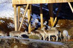 Saga, Moose Art, Animals, Austria, Game Reserve, Mountains, Nature, Animales, Animaux