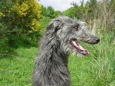 scottish deerhound - Ecosia