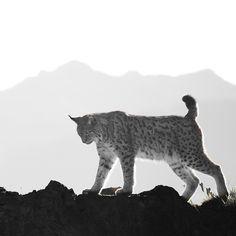 Back home. Souvenir from Cabarceno - Spain #lynx #wildphotography #nature #cabarceno #wildlife #mountain #spain #travel #traveler #traveling #travelphotography