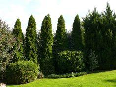 Ezeket ültesd tuja helyett | Gardenista Privacy Plants, Garden Plants, Outdoor Gardens, Golf Courses, Country Roads, Planting, Bedroom Benches, Ideas, Plants